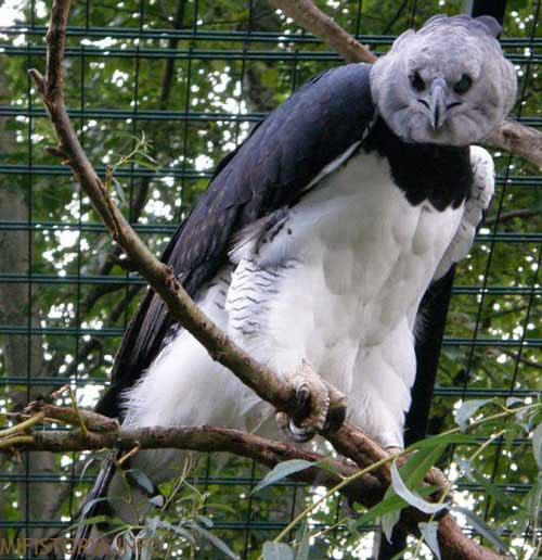 Гарпия, птица - фото на mifistoria.info