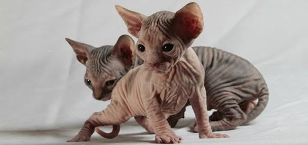 Коты породы Сфинкс - фото на mifistoria.info