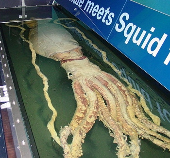 Экспонат гигантского кальмара в Лондоне