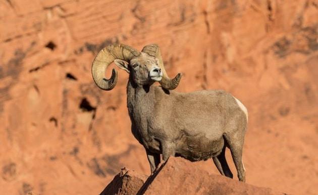 Горный баран на фоне скал