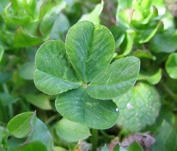 Клевер с четырьмя листьями сорта Good Luck