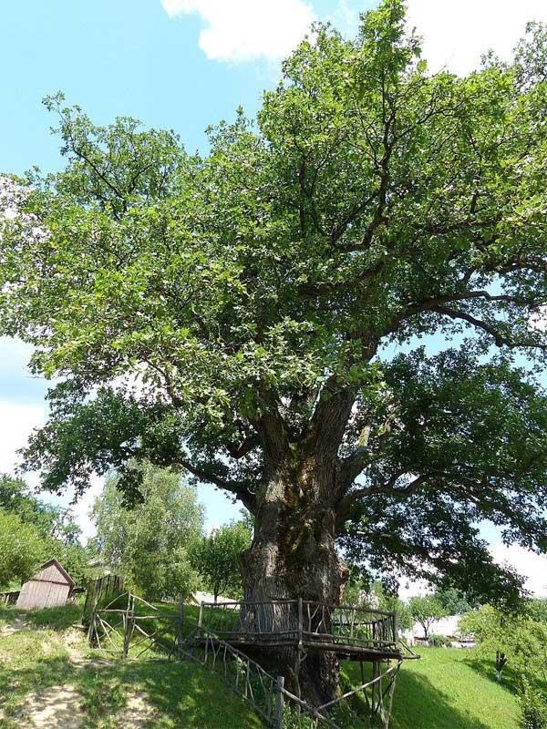 Старейший дуб Украины под названием «Чемпион»