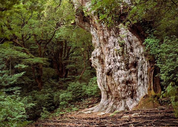 Самое старое дерево на планете: Дземон Суги