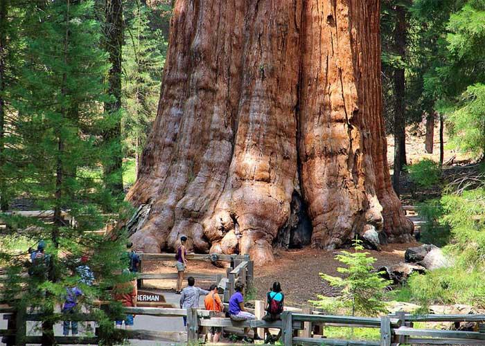 Самое старое дерево в мире: Генерал Шерман
