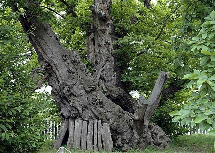 Самое старое дерево в мире: фото Каштана сотни лошадей