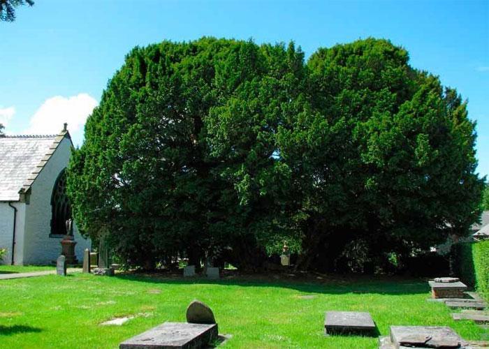 Самое древнее дерево на земле: Ллангернью