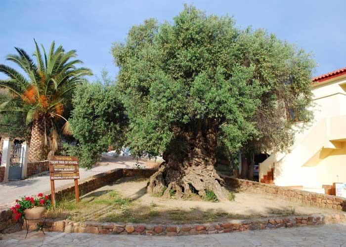 Самое старое дерево на земле: Олива Воувес