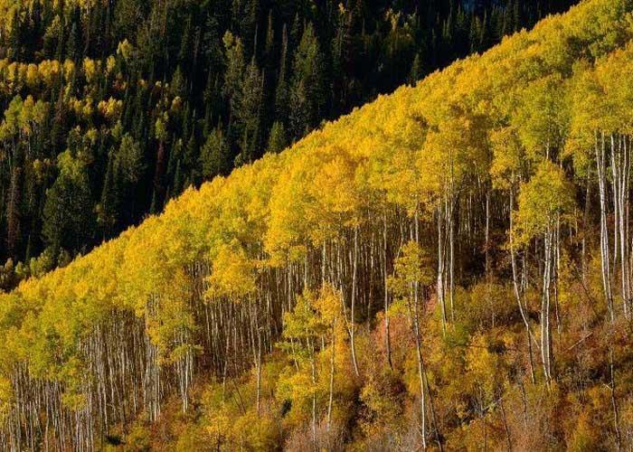 Древнейшее дерево на планете: клональная колония Пандо