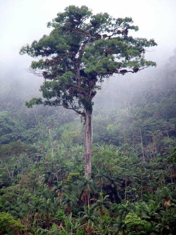 Патриарх леса