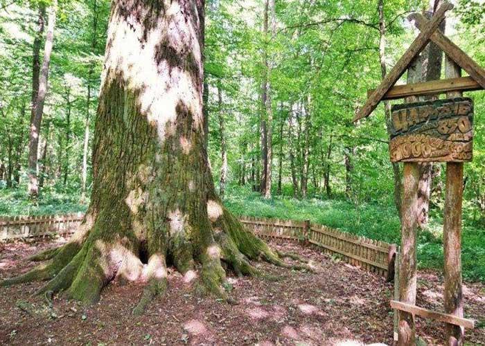 Царь-дуб в Беларуси