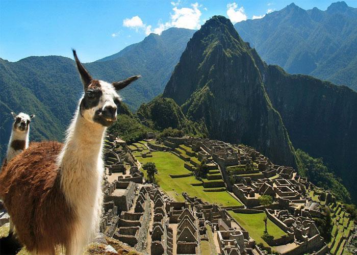 Если хочется увидеть настоящих лам, следует посетить древний город, возведенный инками